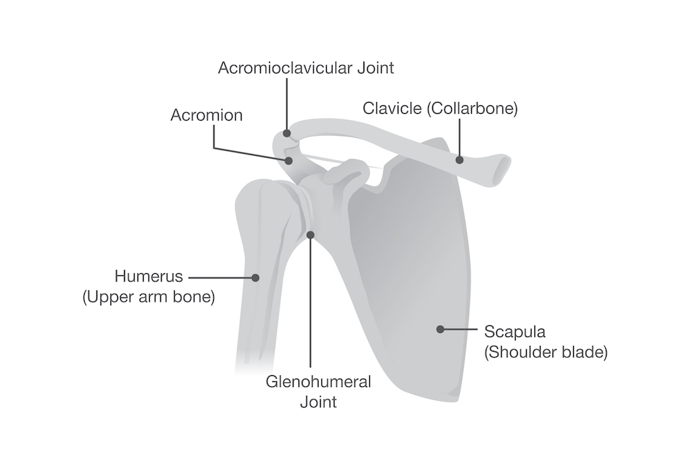 Bones of shoulder