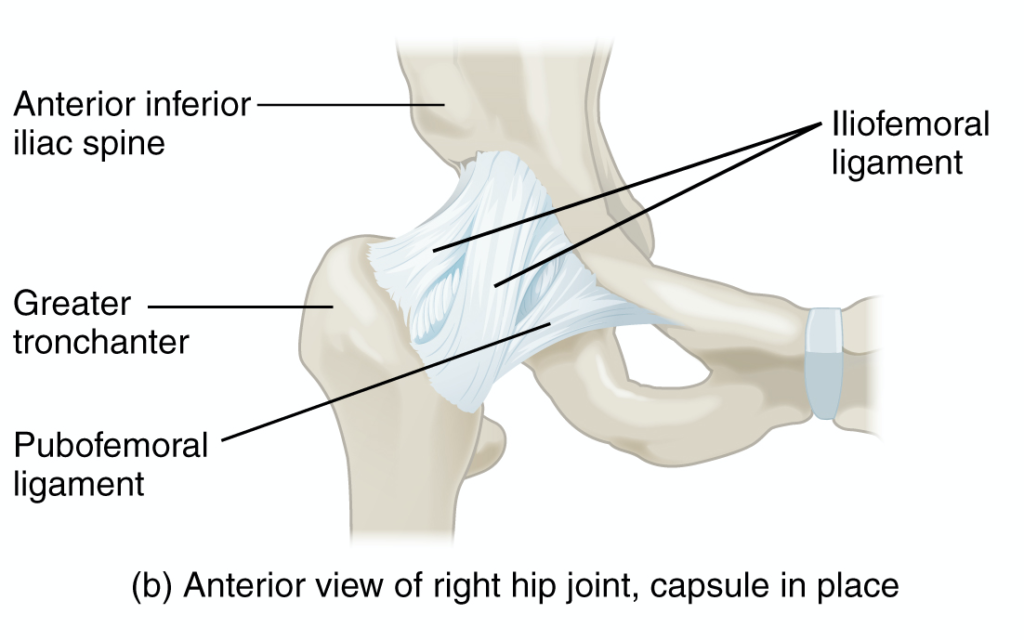 Hip ligaments