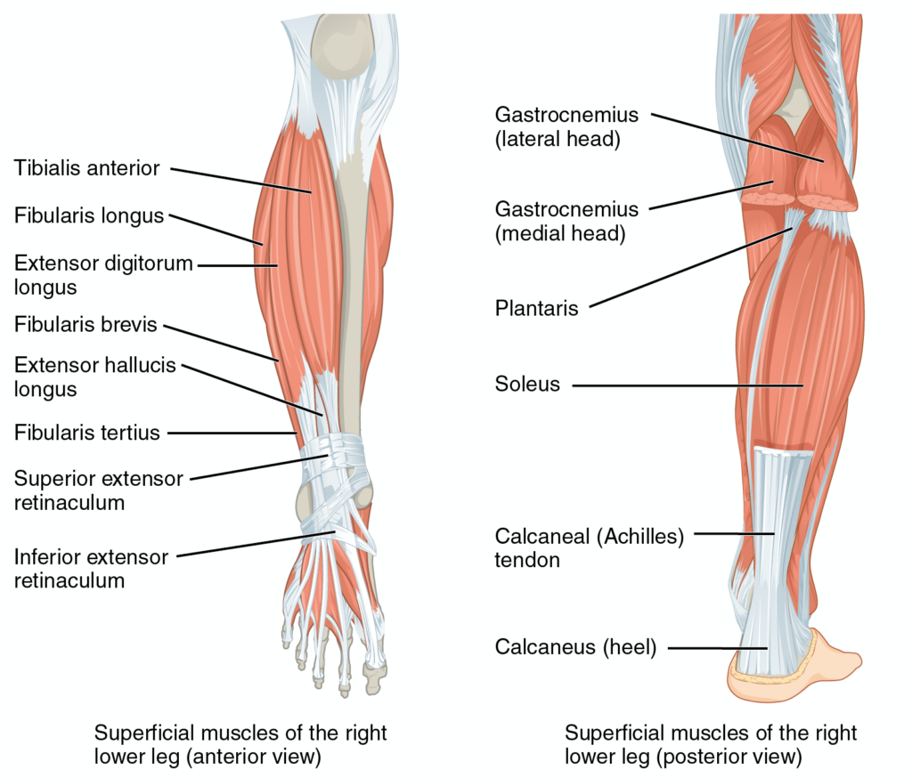 Anatomical illustration of muscles of lower leg